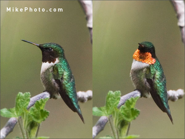 Iridescent colours of the Ruby-Throated Hummingbird