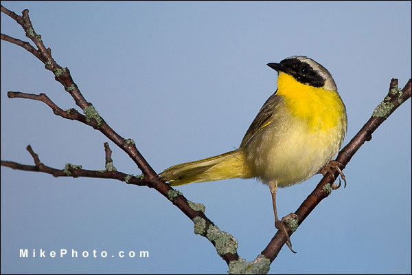 Common Yellowthroat Male Warbler