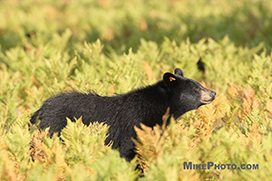 A female black bear in profile walking in front of my camera in Algonquin Provincial Park.