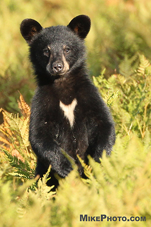 Black bear cub in Algonquin Provincial Park with white spot on its chest.