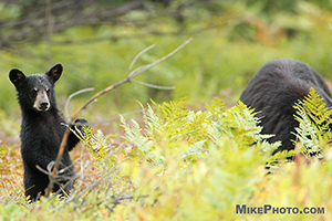 A cute black bear cub standing up in a wild blueberries field in Algonquin Provincial Park.