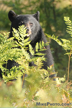 A female black bear standing up behind foliage in Algonquin Provincial Park.