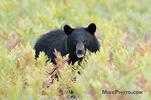 A female black bear looking straight towards me in Algonquin Provincial Park.