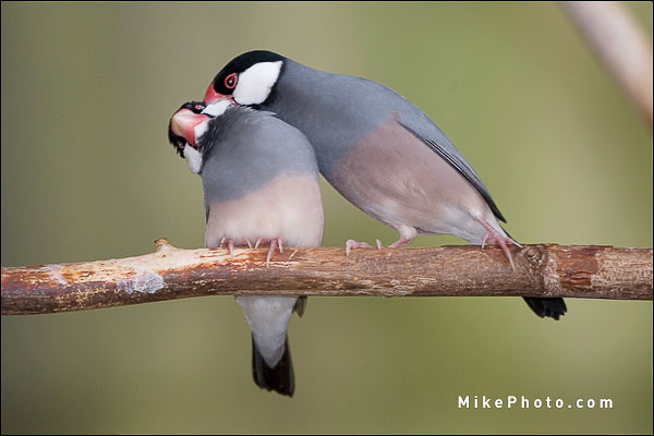 Java Sparrow - Niagara Bird Kingdom, Ontario
