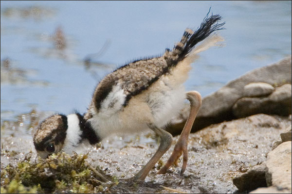 Killdeer Baby Bird Foraging