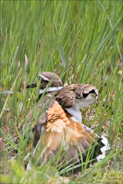 Killdeer Mom With Busted Wing