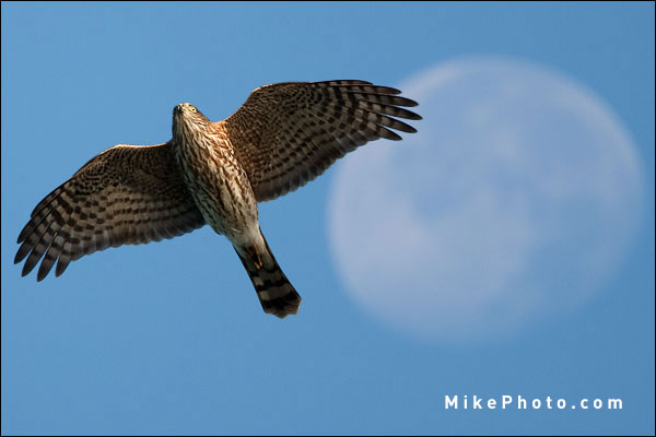 Sharp-Shinned Hawk in Fall Migration, Ontario